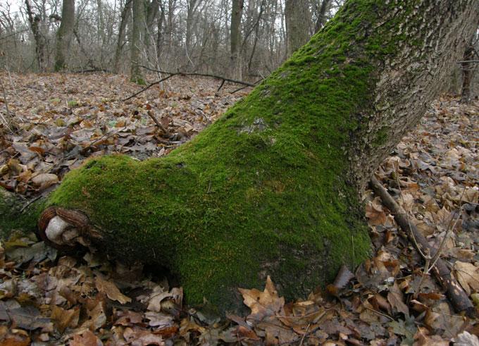 Дерево, покрытое мхом